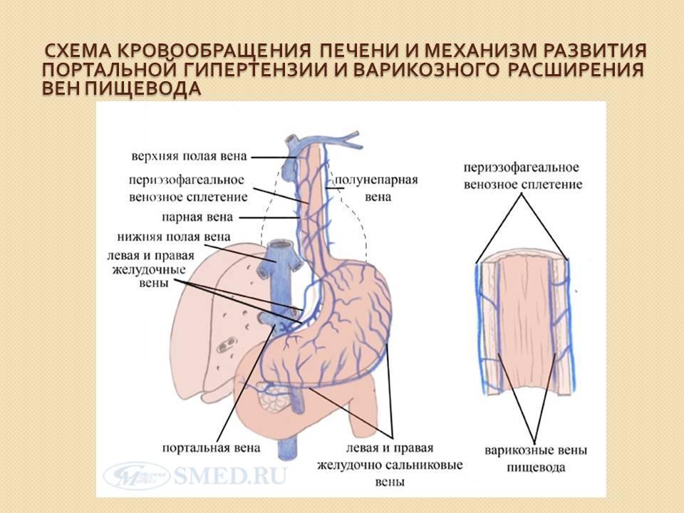 Схема кровообращения печени и вен пищевода