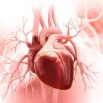 Как устроено сердце человека