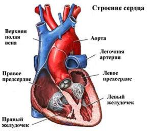 Анатомия человеческого сердца
