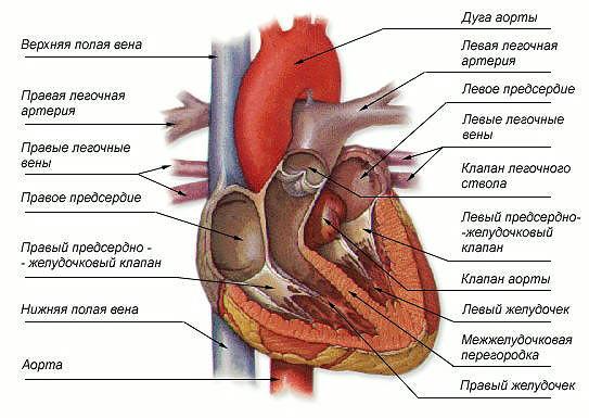 Человеческое сердце в разрезе